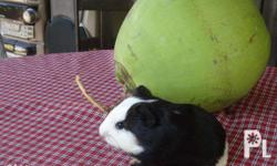 American Guinea pigs 1-2 Months old Male = 250