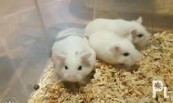 Roborovski For Sale Pied 400 each White with headspot