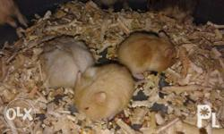 Cdh for sale only 150 per pair also available hamster