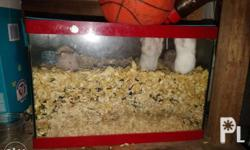 Pet Hamsters (Sold as package only) 16 Adult Hamsters