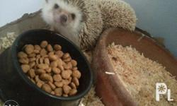 Hedge hog breeder. Prove n breeder. For sale as pair