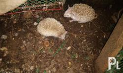 Adult hedgehogs; one male, one female. RFS: No adequate