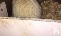 hedgehogs for CHEAP Price sale or swap for rehoming:(