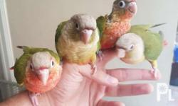 For hand taming Hi red pineapple green cheek conure 6k
