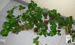 Hellow guys I have new high breed strawberry plants