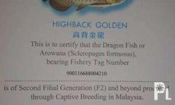 FOR SALE...HIGHBACK GOLDEN AROWANA ...with micro chip