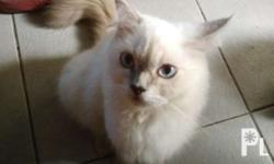 Himalayan female 5months old litter trained Diet
