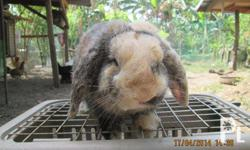 Pure Holland Lop-Eared Rabbit For Sale at P3500/head.