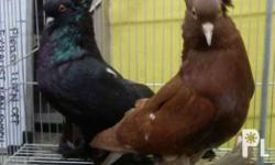 For sale: Fancy pigeons Hungarian Giant House = P1,000