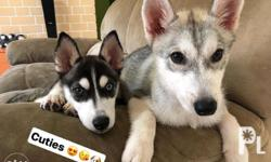 Female husky puppies DOB:Jan 27, 2018 4 months old