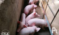 For sale hybrid piglets. Complete iron inject and