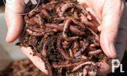 500.00 / Kilo African Night Crawlers (Composting