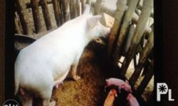 For sale my 11months old female pig with 2piglets.