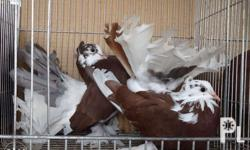 Young birds,red pied,brown,red bar 1,500 one pair