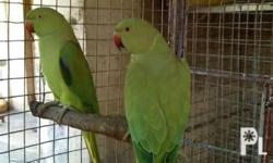 For sale or swap my pair young bird indian ringneck