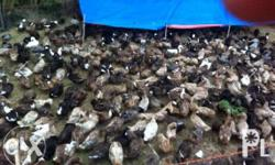 REPOST!! 480pcs itik (wild duck) for sale.. more than 1