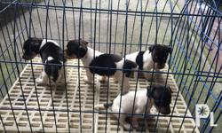 jack russel puppies, dogs puppies, jack russel, pure