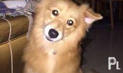 Japanese Spitz For Sale In Calabarzon Classifieds Buy And Sell In