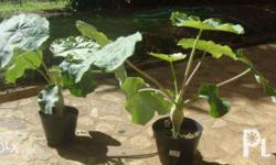Ornamental plant and popular in medicinal folklore to