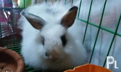 For sale jersey wooly rabbit one male and two female