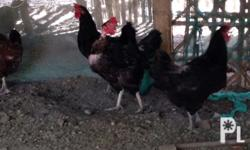 1. It�s size. It is a fact that these chickens can