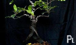 For Sale: Kamagong Bonsai Tree, pot included. Php 3,500