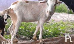 Mixed Native Breed: -male/female goat = 4500 pesos