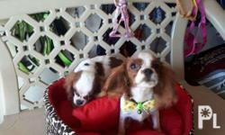 For sale king charles cavalier Oct 22 2017 With pcci