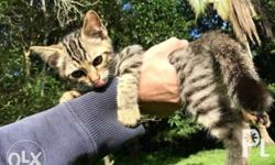 Healthy, sweet adorable kittens with beautiful
