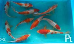 Japanese Koi Fish for sale! - Available size and price