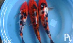 koi for sale koi fish for sale!!! Different size and
