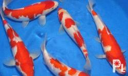 "Different Types of KOI Available size 4""inches to"