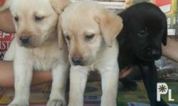 Pure labrador puppies All female With deworming and 1