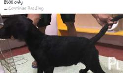 Male Shiny coat Big paws Updated vaccine Dewormed