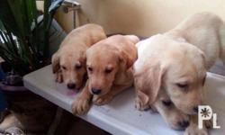 Helping a friend Labrador puppies 100 % pure 4 male 1