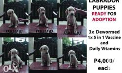 LABRADOR PUPPIES ( w/o PCCI papers) CALL OR TEXT