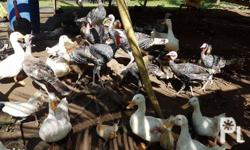 we are saling all kinds of birds chicken wild labuyo