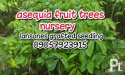 ASEQUIA FRUIT TREES NURSERY its fully grown and ready