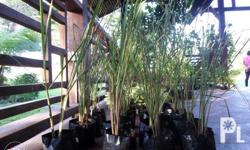 LEMON GRASS more commonly known as Tanglad . It has a