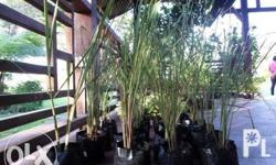 LEMON GRASS more commonly known as Tanglad. It has a