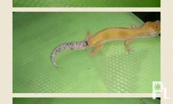For sale leopard gecko 2,500k each 3500 midle s pic