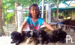 Lhasa Apso puppies for sale Price: 9,000 (slightly