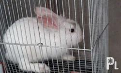 Its Lion head rabbit male with gray spot on his eye