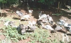 Live and Dressed Turkeys (Pabo) for SALE *Native