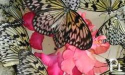 Live butterfly and dried