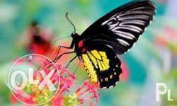We are selling live butterflies for release that is
