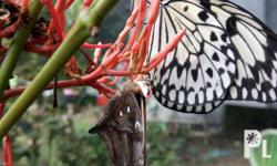 We offer live butterflies release for special events.we