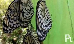 Grab our live butterflies for release.Different species