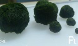 Live Aquatic Marimo Moss Ball (tho not really a moss,