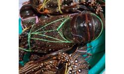 Very cheap in Cebu! Lobster 200 to 400g 1300 per kilo